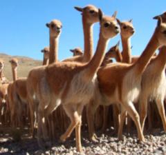 fibra de vicuña