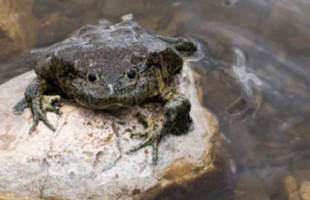 Esfuerzos internacionales para salvar a la rana gigante del Titicaca