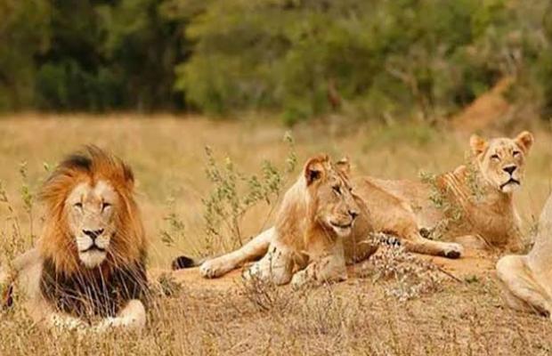 Una familia de leones es envenenada y descuartizada y son usados en rituales