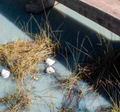 Río Zapatilla es contaminado por productores